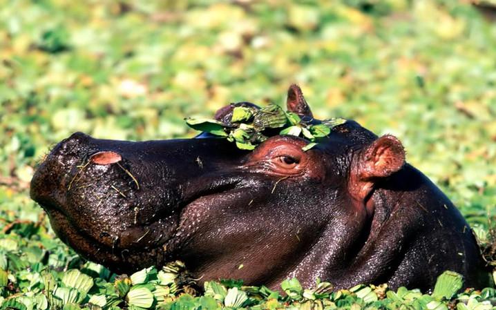 #40 - CURIOSITA'...IPPOPOTAMO, il mammifero più pericoloso!!