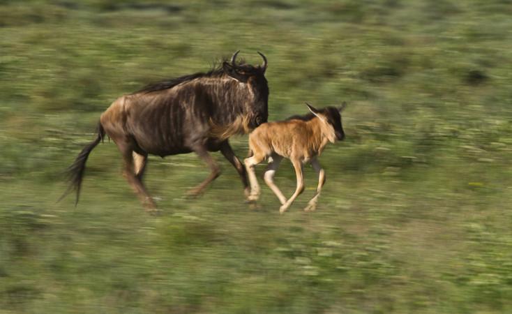 Safari Tanzania - Migrazione