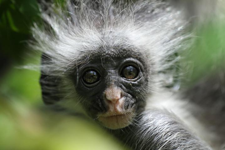 #25 - CURIOSITA'...il COLOBO, la scimmia dalla schiena rossa!