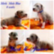 Merle Male_Blue _ 4 weeks.PNG