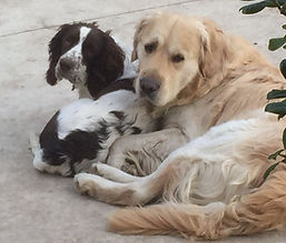 Spaniel and Retriever