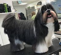 Small shih tzu dog grooming at Barkers Pet Motel & Grooming in St. Albert Edmonton