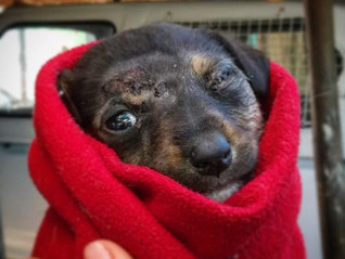Pup bitten on head with eye hanging out - now recovering well
