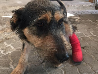 Molly's degloved paw heals thanks to supporters like you