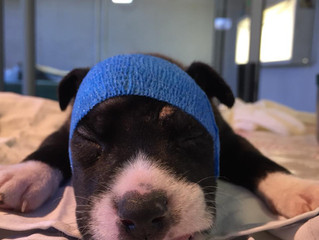 A four week old pupis returned to health