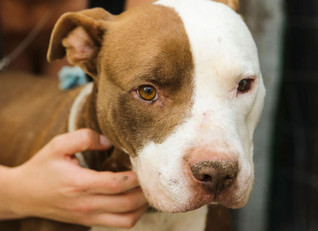 Four pit-bull crosses needing assistance