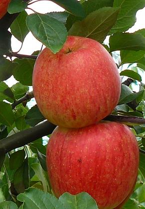 Sander - Vasarinė obelis