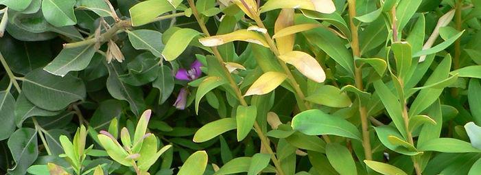 Polygale à feuille de myrte infectée par Xylella fastidiosa (sous-espèce multiplex). Les symptômes visibles sont le jaunissement et dessèchement des feuilles. Xylella fastidiosa peut entrainer la mort de la plante.