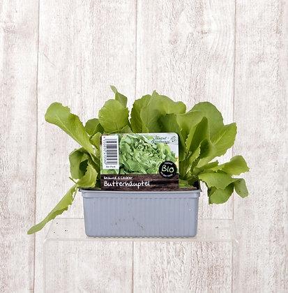 Salatpflanzen verschiedene Sorten