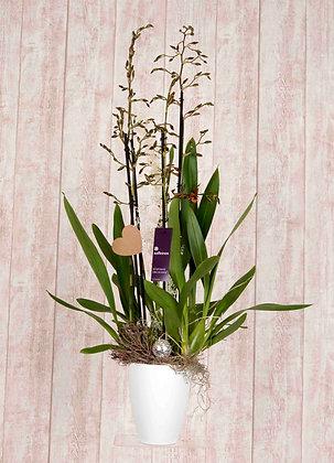 Große Orchidee Oncidium in Gelb/Braun mit Übertopf
