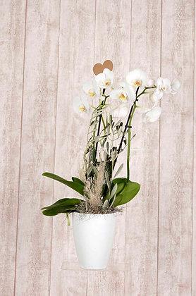 Orchidee Phalaenopsis in Weiß mit Übertopf