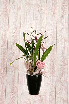 Orchidee Oncidium in Braun/Rosa mit Übertopf
