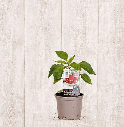 Paprikapflanzen verschiedene Sorten