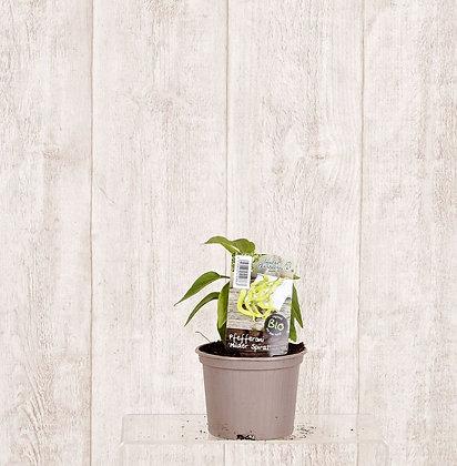 Peperoni/Chillipflanzen