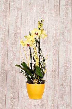 Orchidee Phalaenopsis in Gelb mit Übertopf