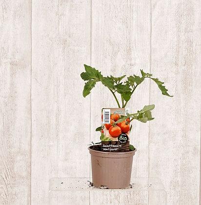 Tomatenpflanzen verschiedene Sorten