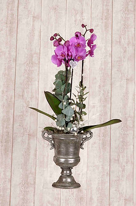 Orchidee Phalaenopsis Lila mit Pokal