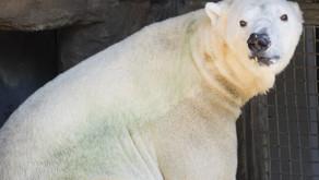 Discolored Tooth Necessitates Dental Check-Up for Polar Bear