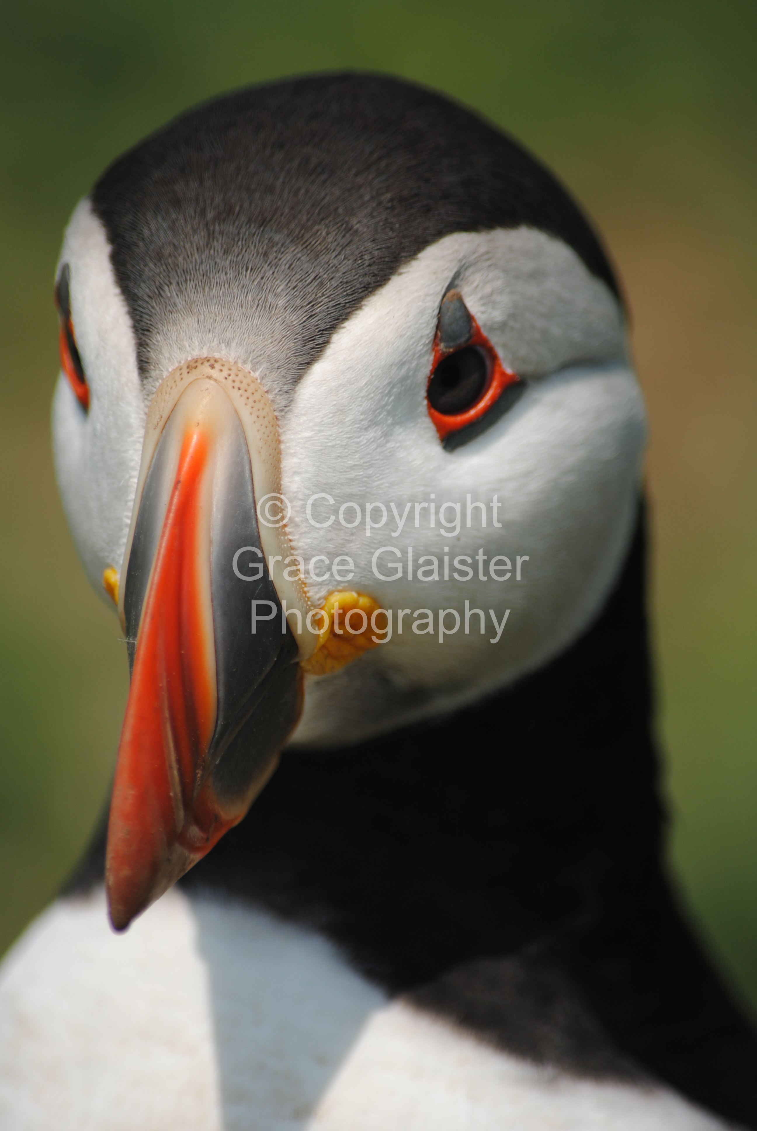Puffin by Grace Glaister