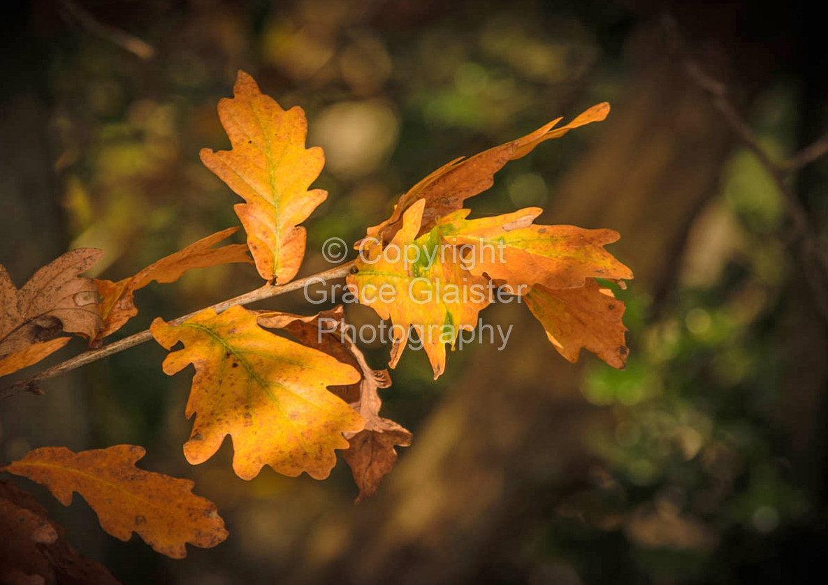 Oak Leaves by Grace Glaister