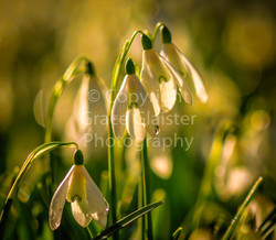 Snowdrops With Raindrops by Grace Glaist