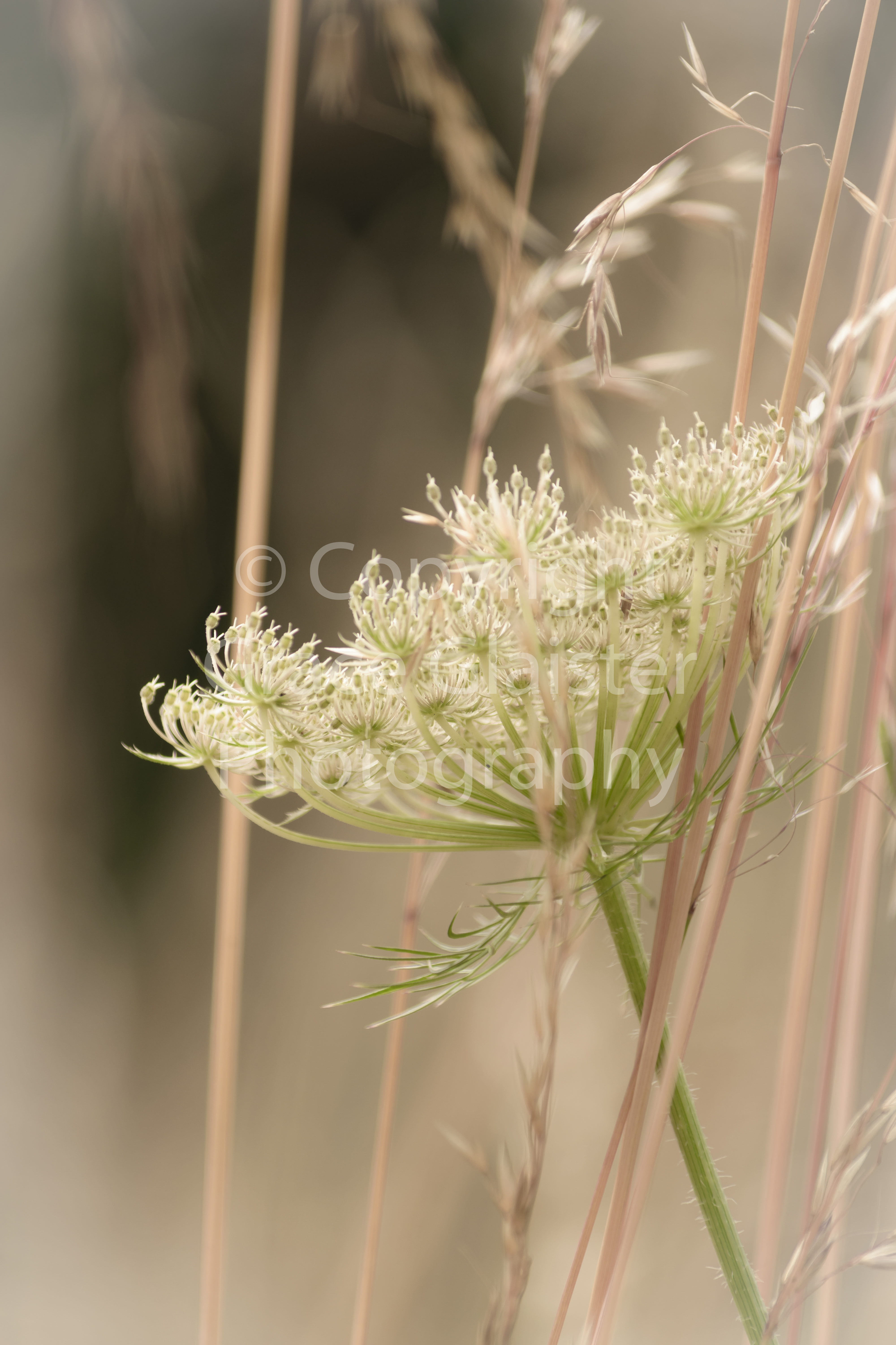 Cow Parsley  by Grace Glaister