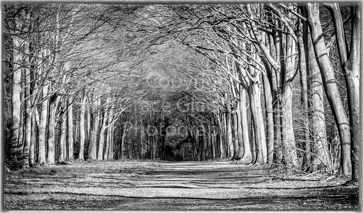 Avenue of trees by Grace Glaister