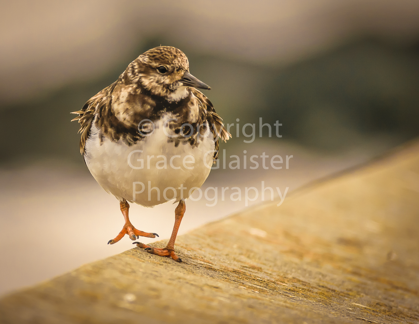 Turnstone by Grace Glaister