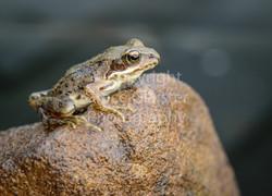 Frog by Grace Glaister