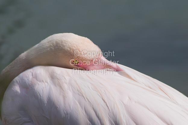 Flamingo by Grace Glaister