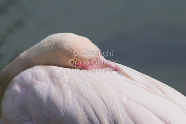 Flamingo by Grace Glaister