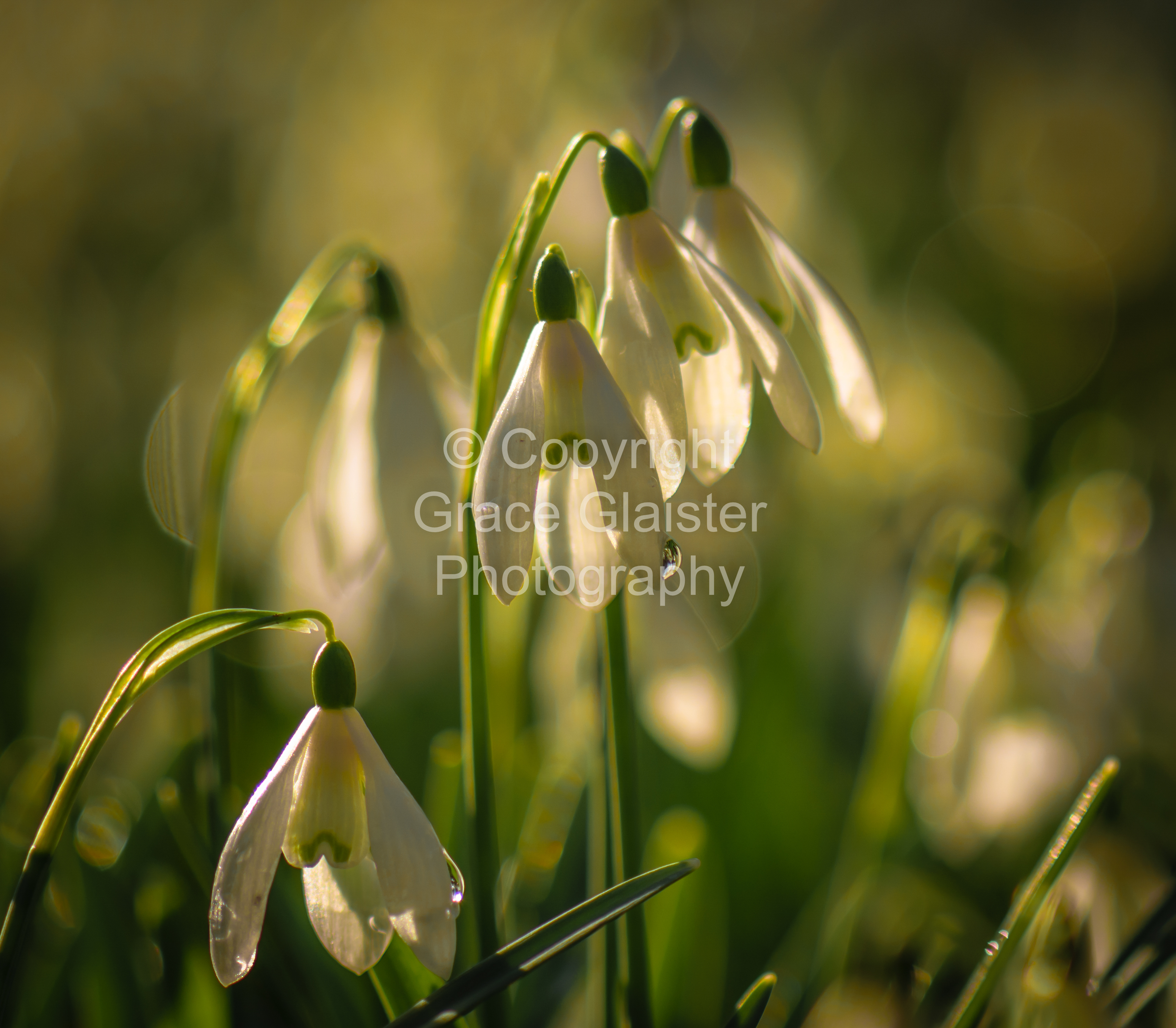 Snowdrops and Raindrops by Grace Glaister