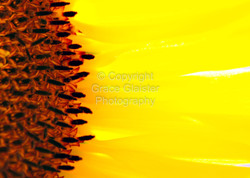 Sunflower Aflame by Grace Glaister