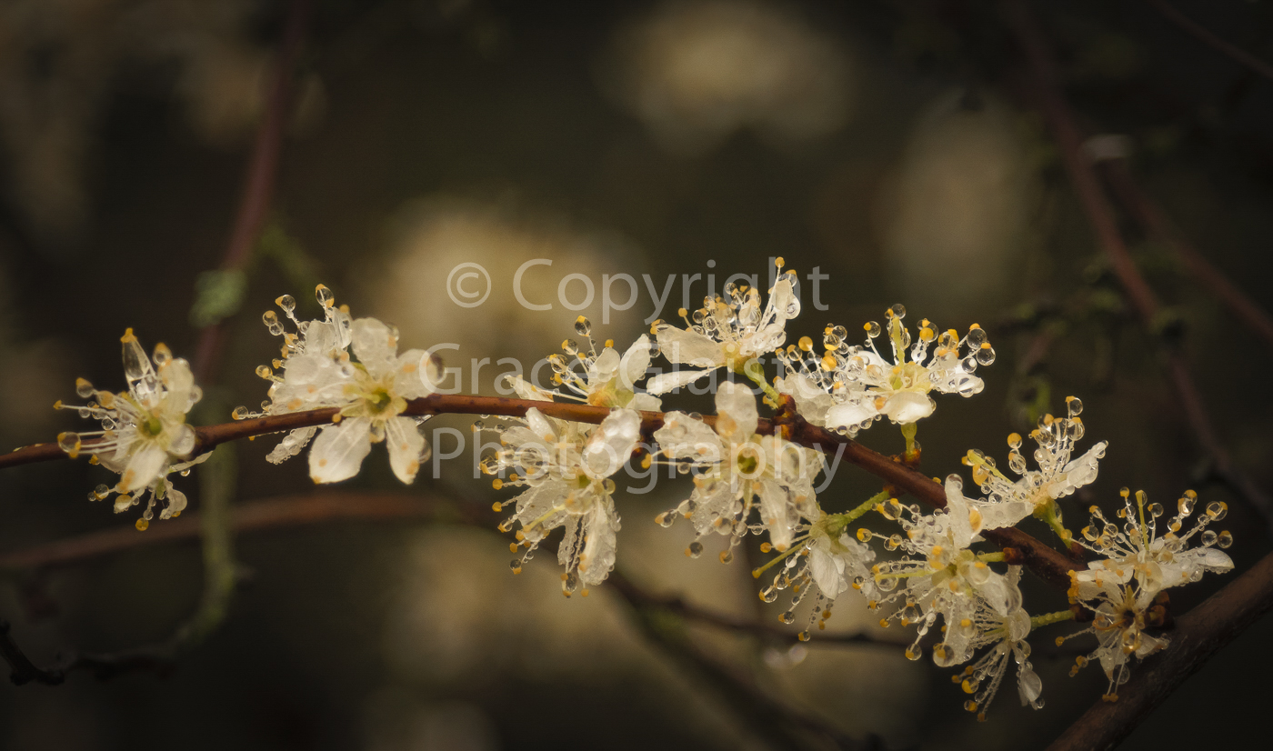 Blossom and raindrops by Grace Glaister.