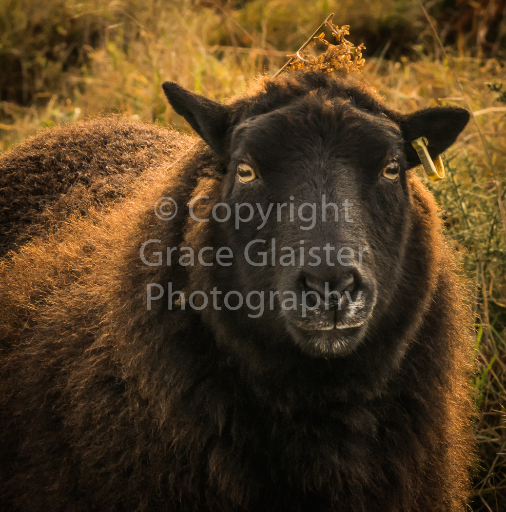 Sheep by Grace Glaister