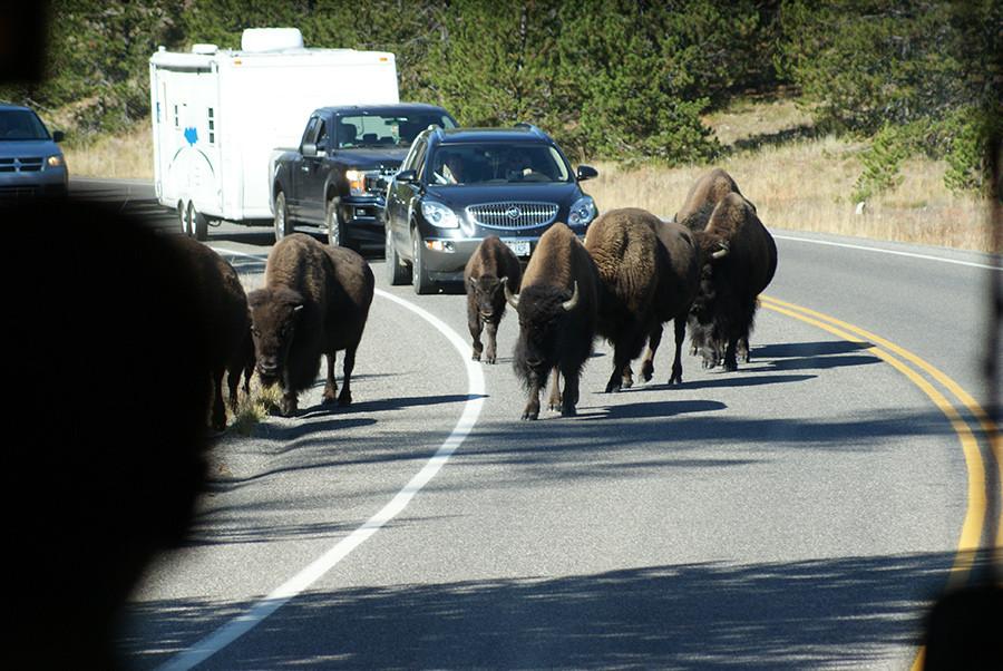 Buffalo crossing at Yellowstone Park