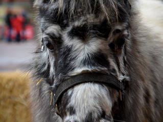Cro mignon, le poney qui fait craquer les enfants!