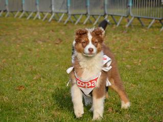 Du travail... mais aussi des jeux pour nos petits bergers: Premier foot Dog pour Joyce!