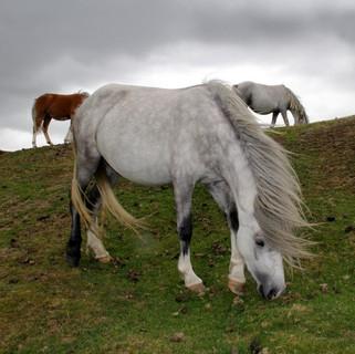 ponies long mynd