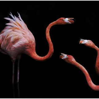 Flamingo spat