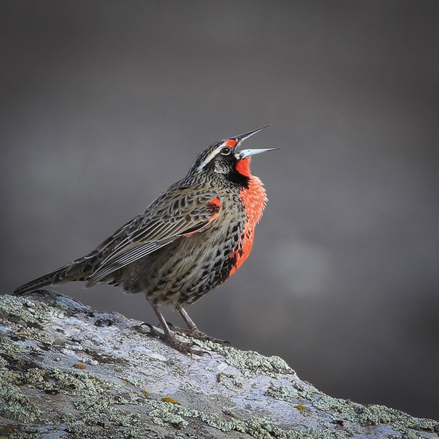 Long-Tailed Meadowlark by Andy Askey