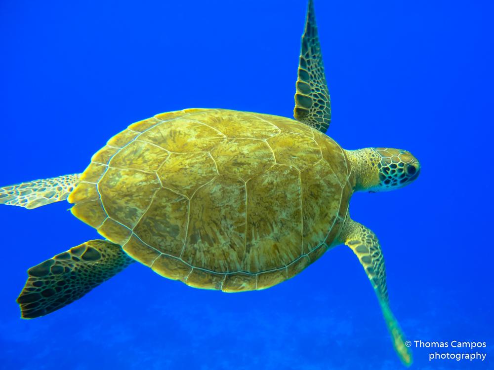 Green Turtle II