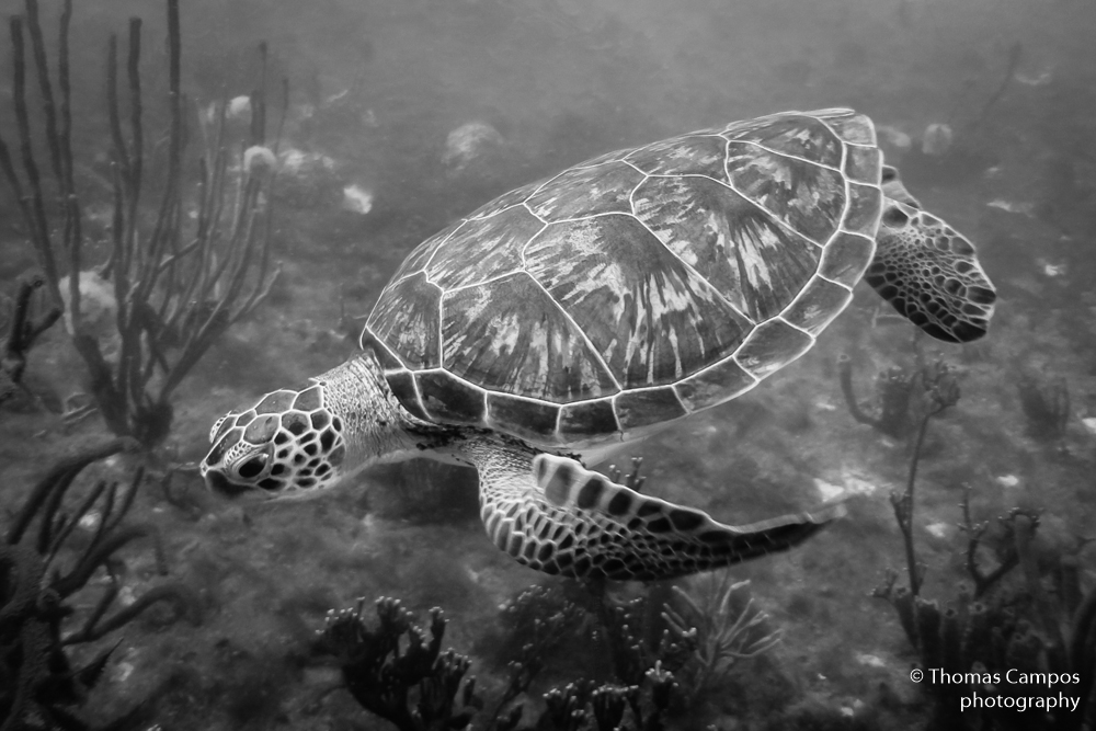Green Turtle IV