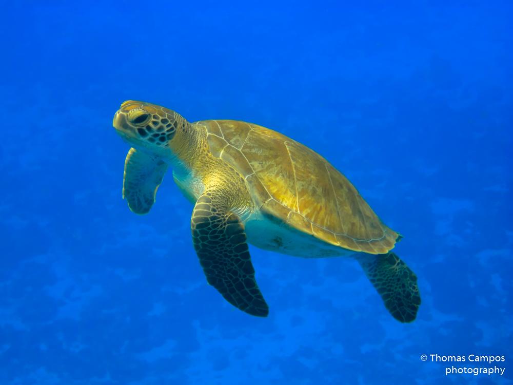 Green Turtle I