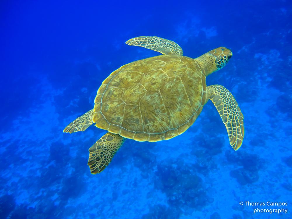 Green Turtle III