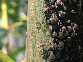 Working with Willows, Part III - Giant willow aphid
