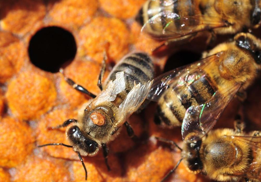 DWV bee