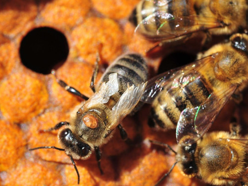 Under the Microscope - Avoid Hive Killer 1 this Winter