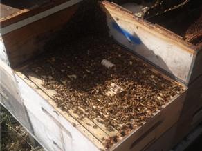 Oxalic Acid's Impact on Bee Health