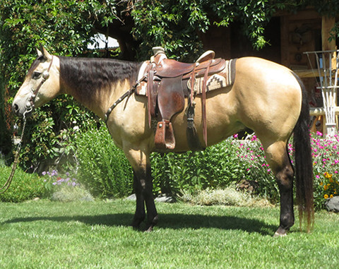 SOLD 2006 Chunky & Handsome Buttermilk Buckskin AQHA Gelding, 15 Hands 1200 Lbs.